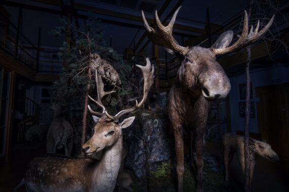 Uppstoppad älg och hjort på museum.
