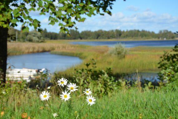 Vita blommor i förgrunden, en sjö och äng i bakgrunden.