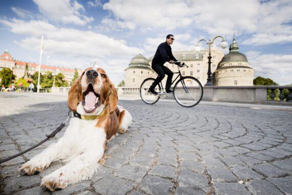 En man på cykel med Örebro slott i bakgrunden och en liggande hund i förgrunden.
