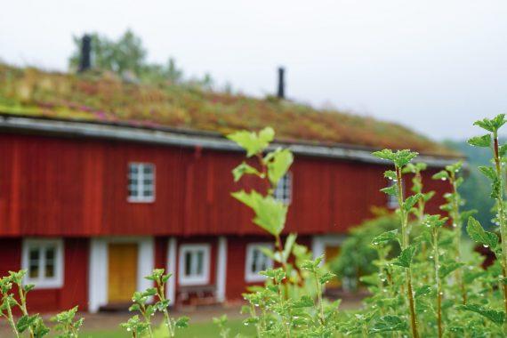 En röd, stor byggnad i trä från 1700-talet som omgärdas av regnvåta buskar och gräs på taket.