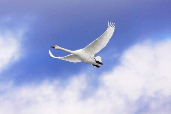 En vit svan underifrån mot en blå himmel med några vita moln.
