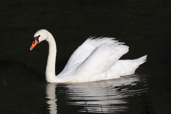 En vit svan.
