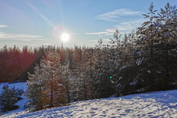 En snötäckt granskog och sol på himlen.