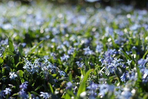 Blå, små blommor bland gröna blad.