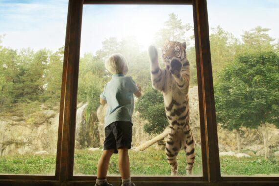 Ett barn står och tittar på ett en tiger på andra sidan en glasvägg.