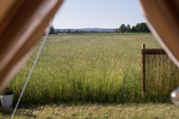Åkrar med högt gräs utanför ett tältdraperi.