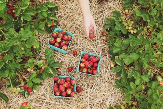 Tre askar med jordgubbar i hö ses ovanifrån, precis intill jordgubbsplantor